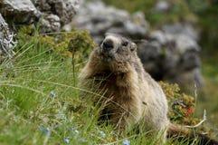 Marmota que senta-se na grama e nos olhares na câmera Fotografia de Stock