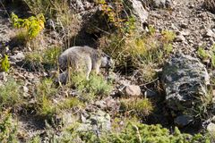 Marmota selvagem que esconde em rochas, montanhas dos cumes, França Imagem de Stock Royalty Free