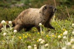 Marmota solitaria Imagenes de archivo