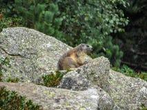 Marmota van marmotmarmota in natuurlijke habitat, de Pyreneeën, Zuiden van Frankrijk stock foto's