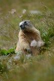 Marmota vieja en la hierba de la roca e Fotografía de archivo