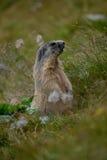 Marmota vieja en la hierba de la roca e Foto de archivo