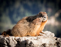 Marmota y niño de la madre Fotos de archivo