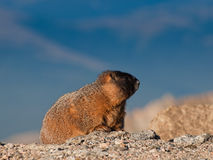 Marmota Yellow-bellied Foto de Stock Royalty Free
