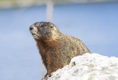 Marmota Yellow-bellied Fotos de Stock