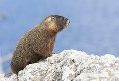 Marmota Yellow-bellied Fotografia de Stock Royalty Free