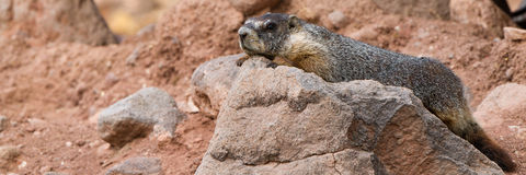 Marmota Yellow-bellied, flaviventris do Marmota Fotos de Stock Royalty Free