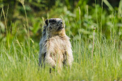 Marmota Yellow-bellied (flaviventris do Marmota) Fotos de Stock