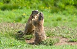 Marmotas Imagenes de archivo