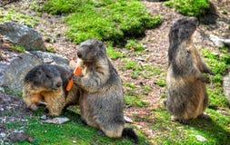 Marmotas Imágenes de archivo libres de regalías