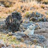Marmotas Foto de archivo