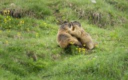 Marmotas alpinas en el ambiente natural Imagen de archivo libre de regalías
