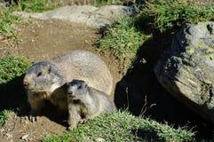 Marmotas cerca de la madriguera Foto de archivo