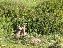 Marmotas de la lucha Fotos de archivo