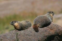 Marmotas en una roca foto de archivo