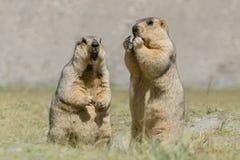 Marmotas Himalayan - fauna del ladakh, la India Foto de archivo