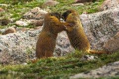 Marmotas hinchadas amarillo joven Fotos de archivo libres de regalías