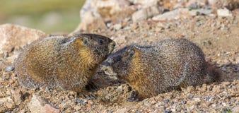 Marmotas hinchadas amarillo joven Fotografía de archivo libre de regalías
