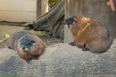 Marmotas jovenes Imagen de archivo