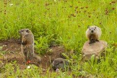 Marmotas jovenes en la guarida Imagen de archivo libre de regalías