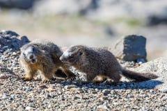 Marmotas juveniles que juegan en las rocas en el soporte Evans Imagen de archivo