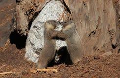 Marmotas que luchan Fotografía de archivo