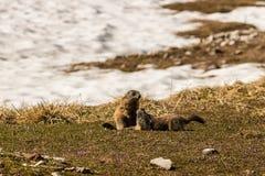 Marmotas que luchan Imagen de archivo libre de regalías