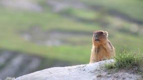 Marmotas salvajes en estepa almacen de metraje de vídeo