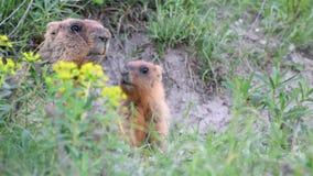 Marmotas y él salvajes bebé metrajes