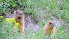 Marmotas y él salvajes bebé almacen de video