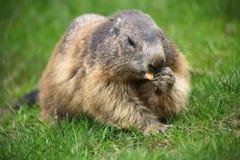Marmoten äter på grönt gräs Arkivfoto