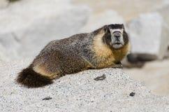 marmotnationalpark yosemite Arkivfoton