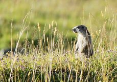 Marmoton dans l'herbe Photos stock