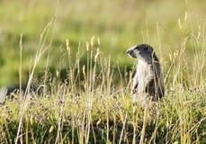 Marmoton in het gras Stock Foto's