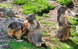 Marmots. Group of marmots in Swiss Alps Royalty Free Stock Images