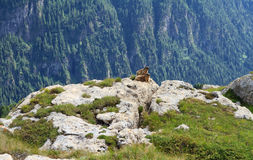 Marmots. Two marmots stand on rocks in alpine valley Stock Images