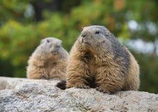 marmots Lizenzfreie Stockfotografie