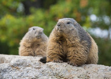 marmots Royaltyfri Fotografi