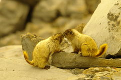 marmots Royaltyfri Bild
