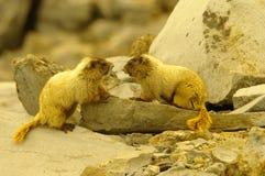 marmots Arkivfoton