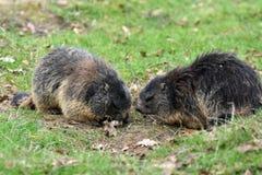 marmots Стоковая Фотография