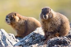 Marmot Resting on Rock at the Top of Mount Evans, Colorado. Marmots are common in the Rocky Mountains and are very sociable animals. They are related to royalty free stock photo