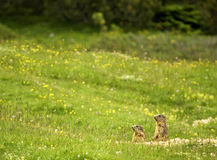 Marmots of the Dolomites. Two marmots poke their head up out of their den to look around in the Dolomites of Northern Italy Stock Image