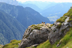 Marmots and Fassa Valley Stock Photography