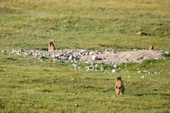 Marmots in the field. Looking sideways Royalty Free Stock Photo