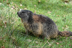 Marmots. Groundhog  marmota  sitting at the entrance to the  burrow Stock Images
