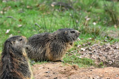 Marmots. Groundhog , marmota , sitting at the entrance to the  burrow Royalty Free Stock Photo
