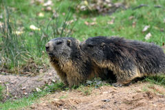 Marmots. Groundhogs  & x28;marmota & x29; sitting at the entrance to her  burrow Stock Image