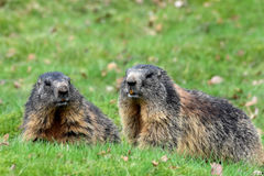 Marmots. Groundhogs & x28; marmota& x29;  sitting at the entrance to her  burrow Royalty Free Stock Photo