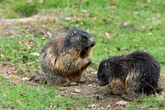 Marmots. Groundhogs  & x28;marmota& x29;  sitting at the entrance to her  burrow Stock Photo